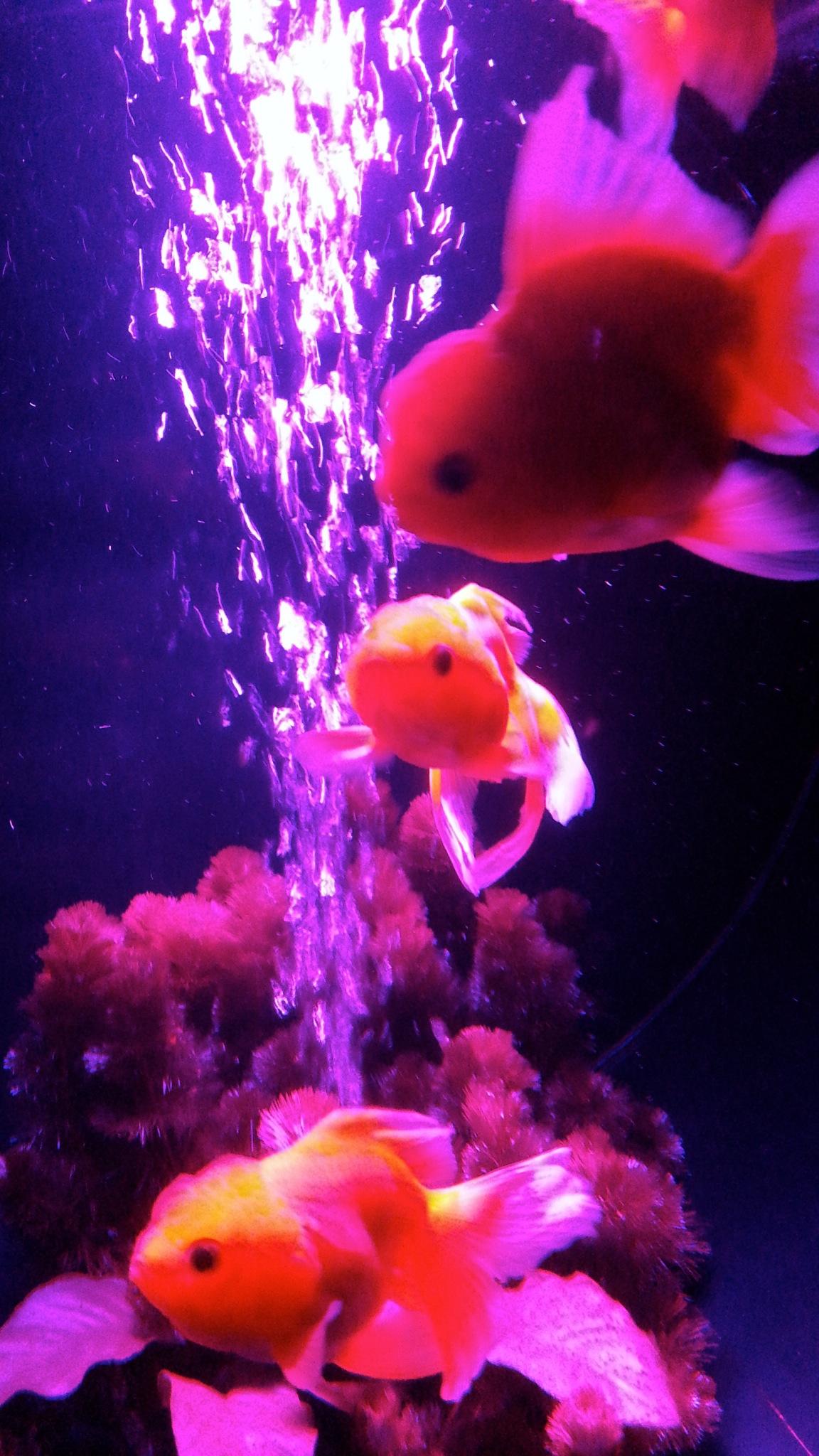 goldfischegucken im art aquarium 8900 km berlin