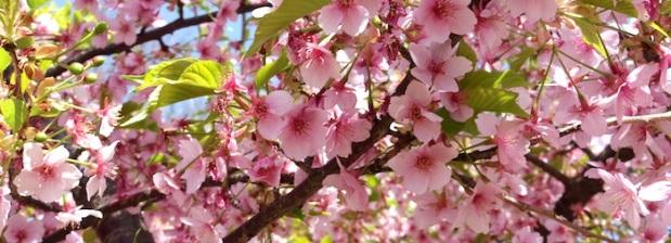 Im Zweifelsfall kann man mit Kirschblüten jeden Eintrag illustrieren.