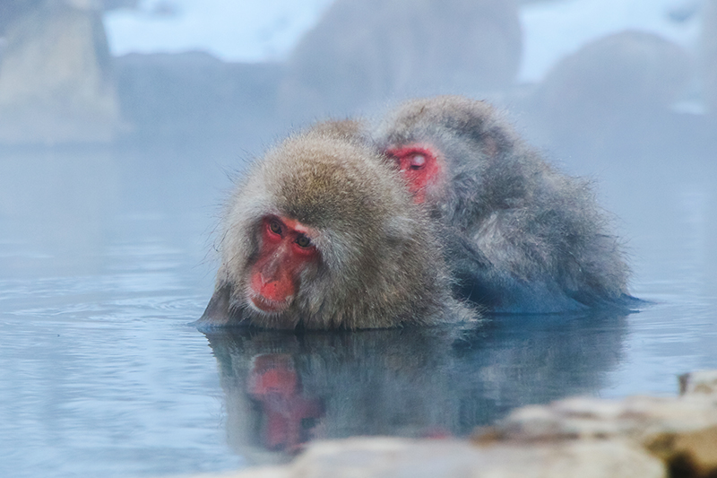 Japanese Snow monkey Macaque in hot spring Onsen Jigokudan Park,